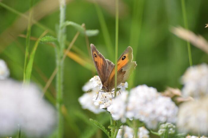 Combe Grove Wildflower meadows butterflies