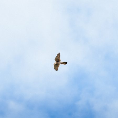 How to identify a bird call - recognising bird sounds. Bird flying in a cloudless blue sky