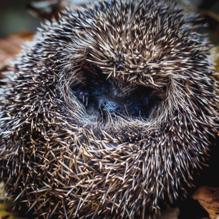 National Hedgehog Day - Hedgehog in hibernation