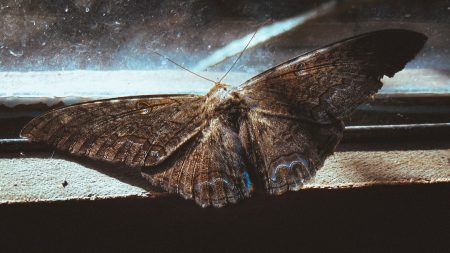 Facts about moths - moth with wings outstretched